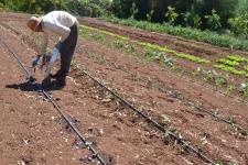 Plantar coles lombardas