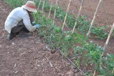 Atando las tomateras