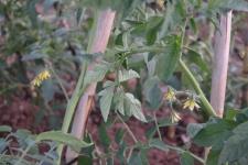 Tomateras con flor