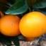 Naranjo navelina