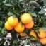 Naranjos navelinas