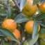 Naranjo clemenules