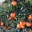 Naranjas huerto